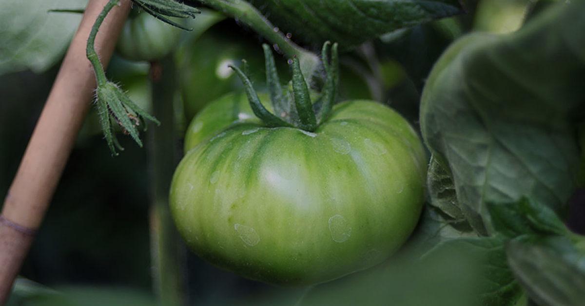 Schandelah Tomaten